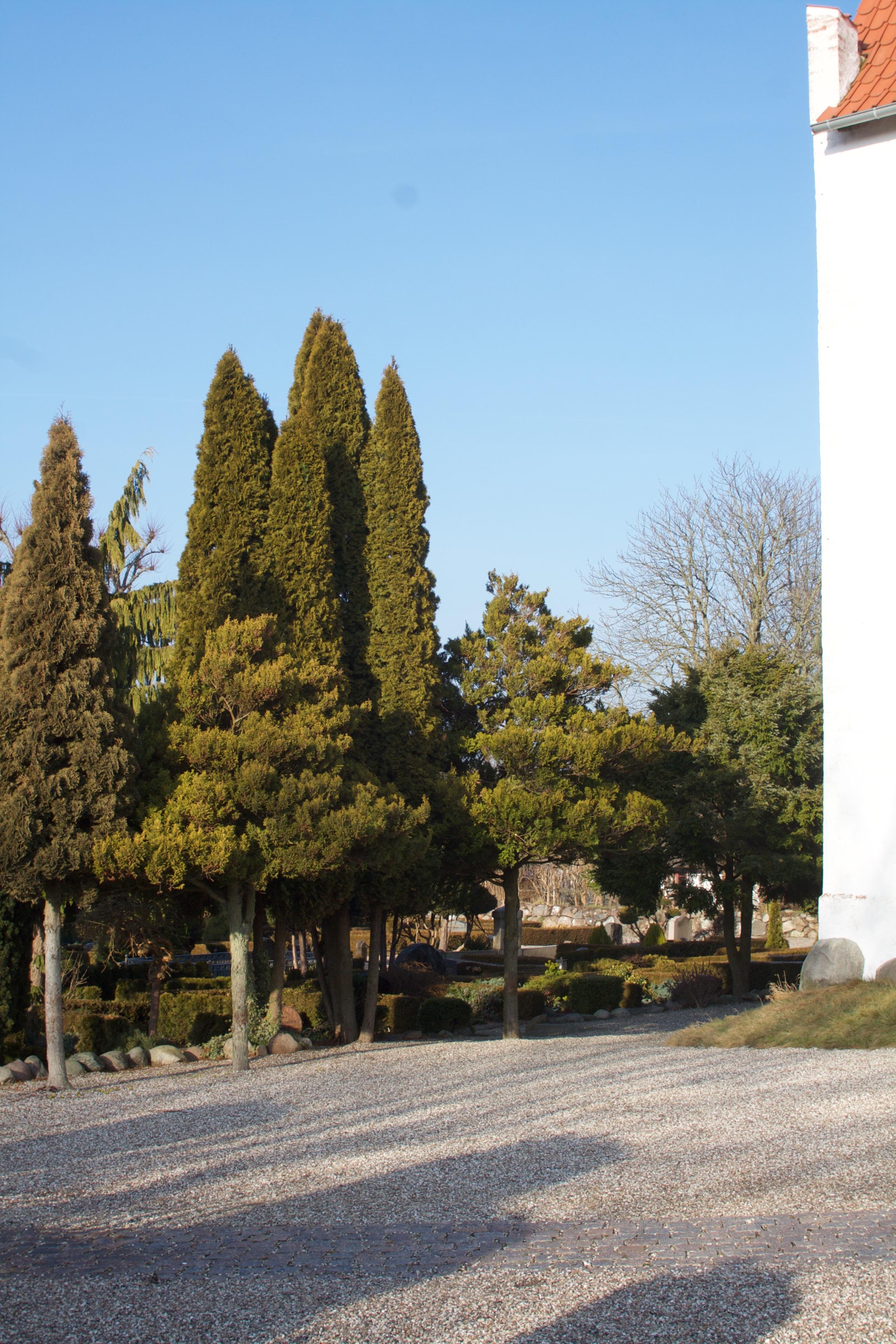Gevninge kirkegård har mange smukke, stedsegrønne træer.